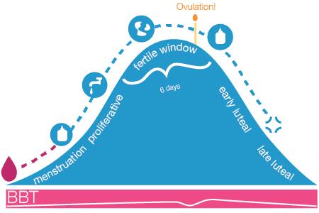 What is the fertile window?